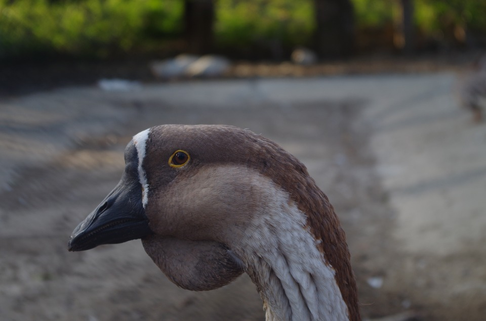 Goose, Face, Animal, Home, Bird