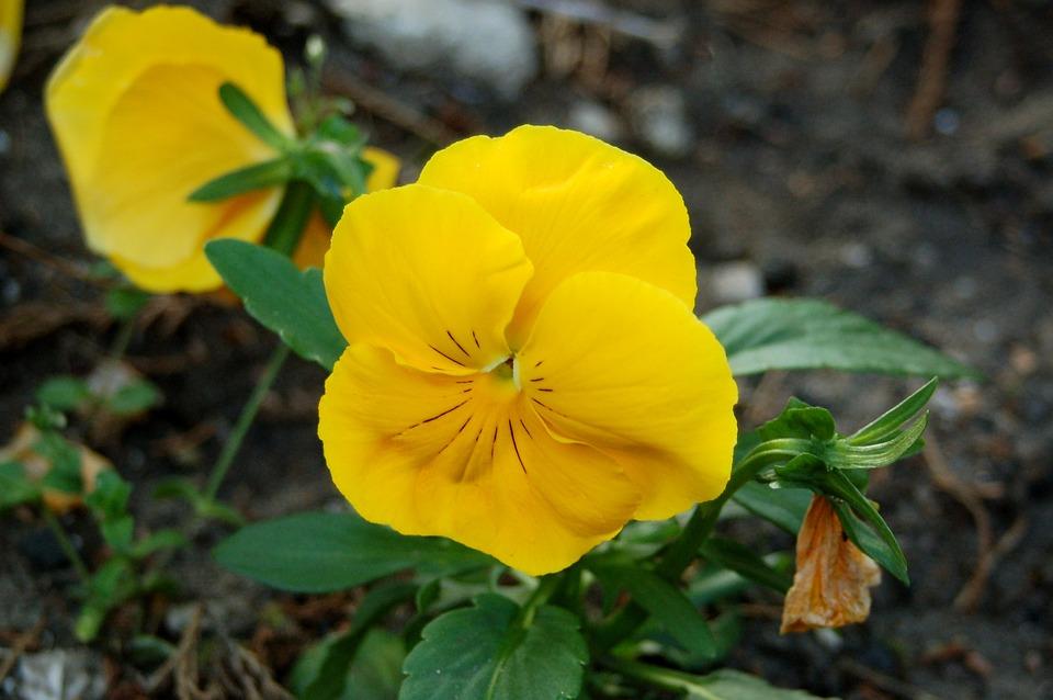 Pansy, Flower, Summer, Garden, Flowers, Home Garden