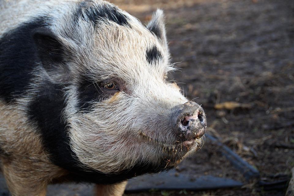 Pig, Home, Spotted, Farm, Economic, Animal, Farmhouse