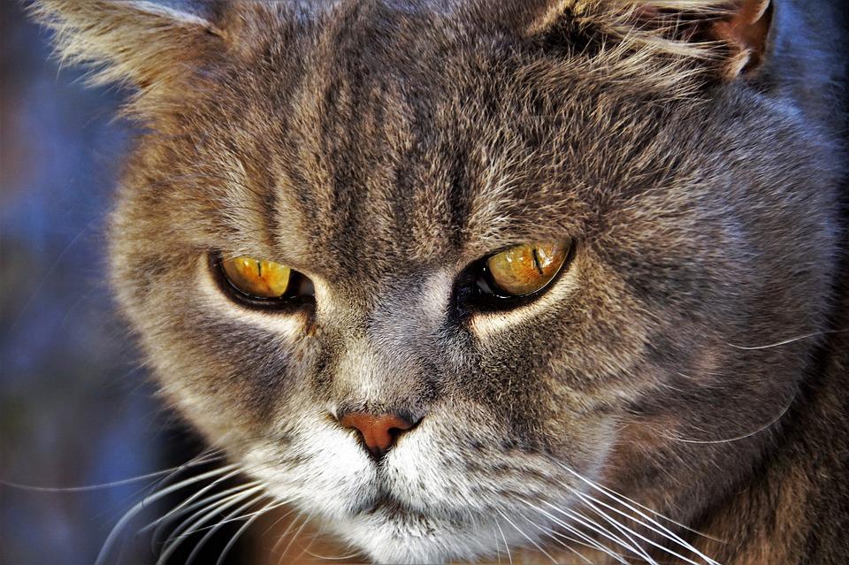 Cat, British, Blue, Home, Pet, Race, Yellow, Eyes