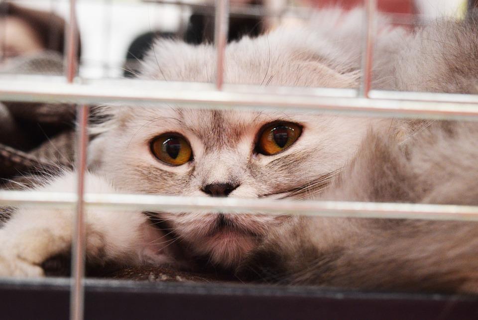 Shelter Cat, Cage, Adoption, Homeless, Abandoned, Sad