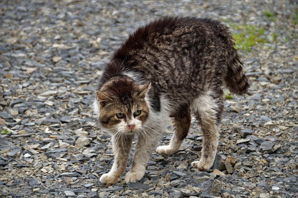 Cat, Bristling, Fight, Preparation, Attack, Homeless
