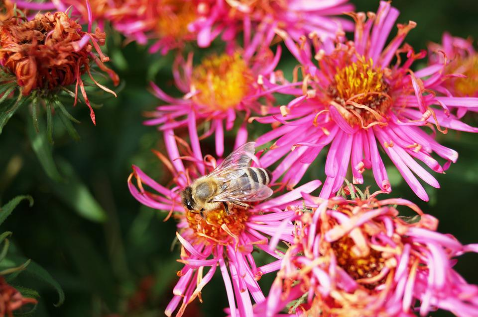 Bee, Flower, Aster, Blossom, Bloom, Honey Bee, Insect