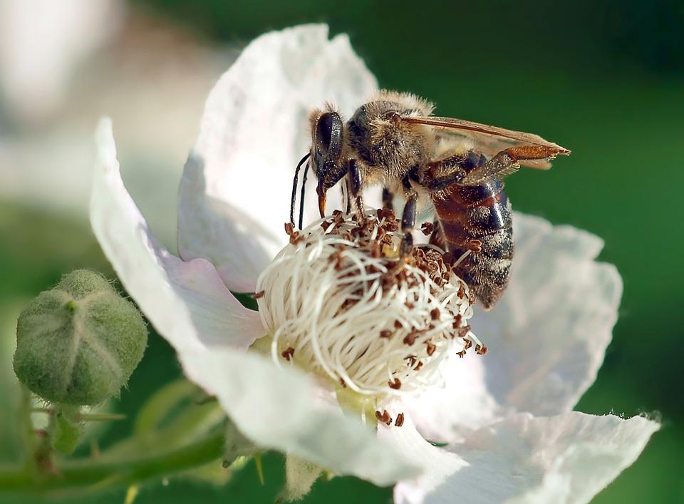 Bee On Blackberry Blossom, Bee, Honey Bee, Blossom