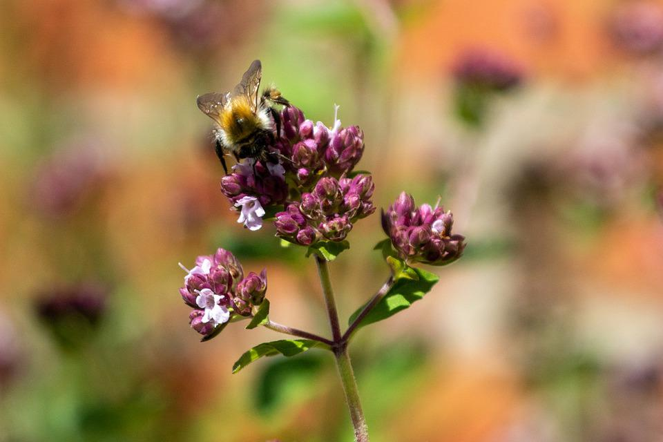 Bee, Oregano, Flower, Honey Bee, Insect, Natural