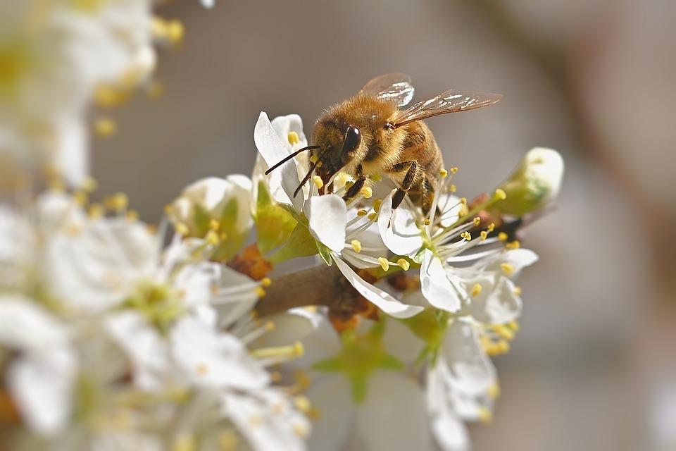Honey Bee, Flowers, Pollen, Nectar, Close Up, Spring