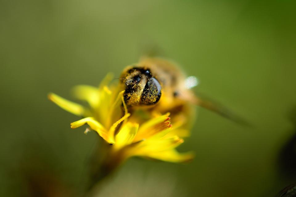 Bee, Pollen, Insect, Nectar, Macro, Honey Bee, Nature
