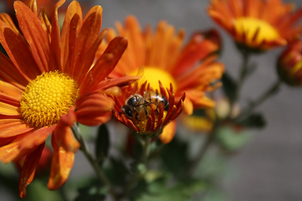 Bee, Flower, Insect, Honey Bee, Pollen, Nectar, Blossom
