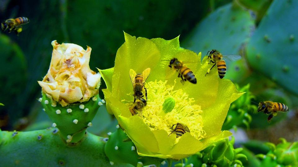 Honey, Bee, Bees, Nature, Cactus, Desert, Dessert