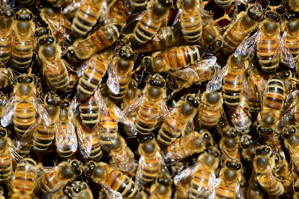 Bees, Insects, Macro, Honey Bees, Winged Insects