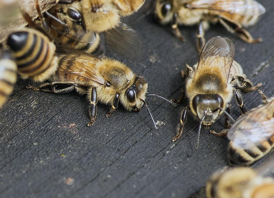Bee, Buzz, Honey, Buzzing, Nature, Nectar, Animal