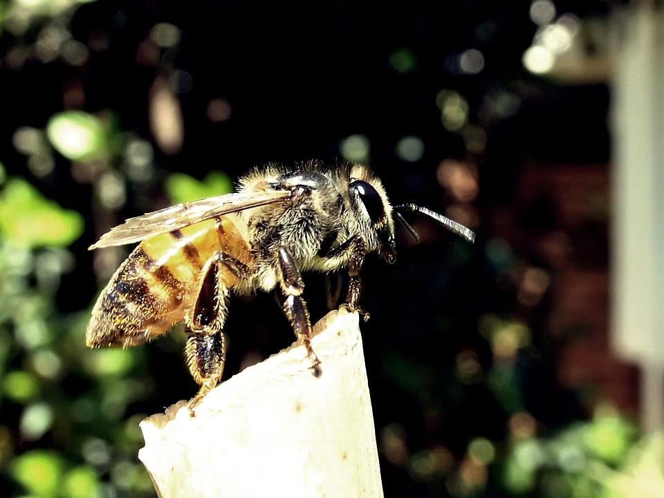 Honeybee, Bee, Honey, Garden, Nature, Insect, Yellow