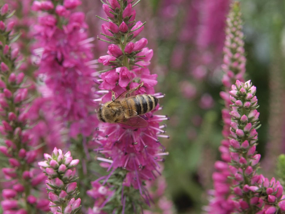 Lupine, Bee, Nature, Honey, Honey Bee, Macro, Garden