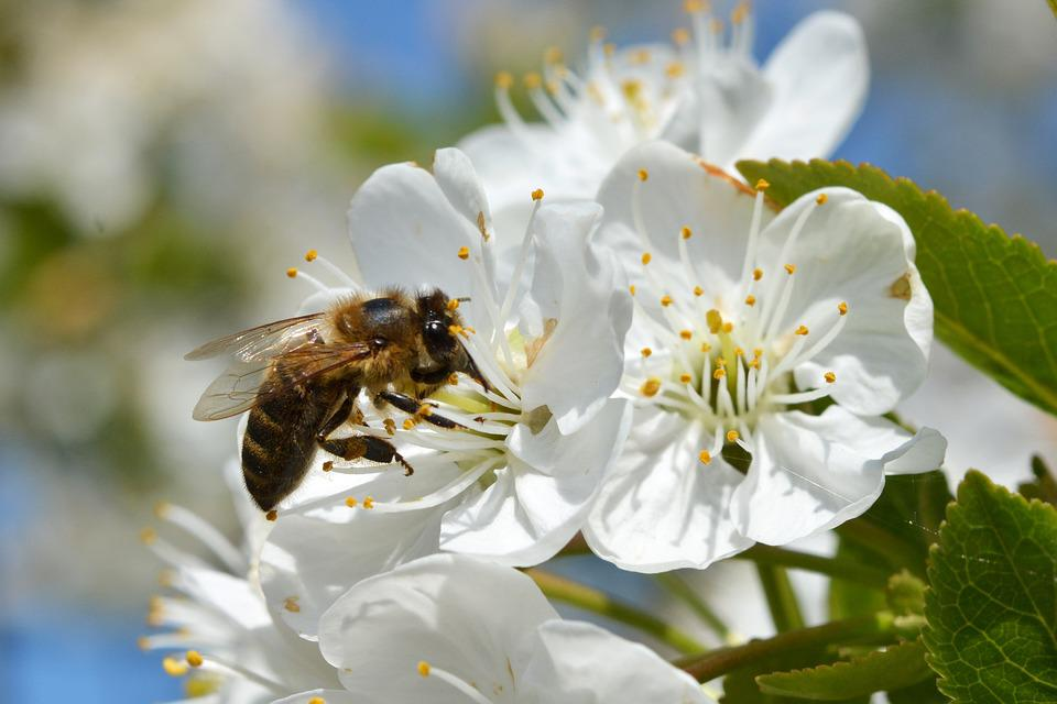Bee, Honey, Bees, Insect, Nature, Spring, Nectar