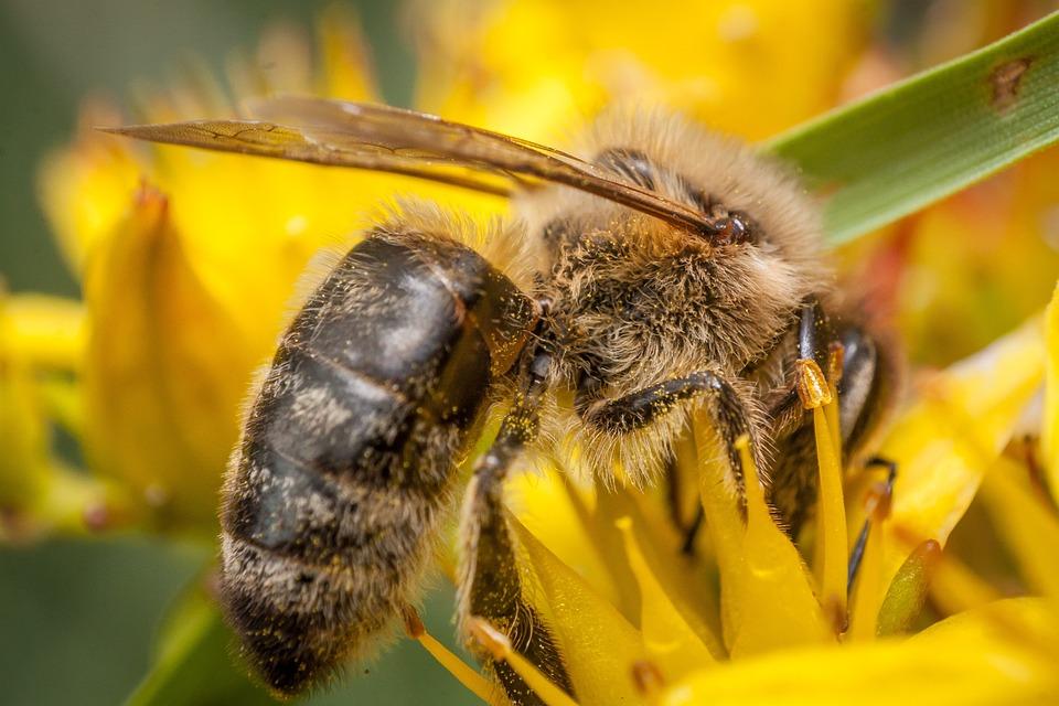 Bee, Honey, Macro Photography, Macro, Pollen, Summer