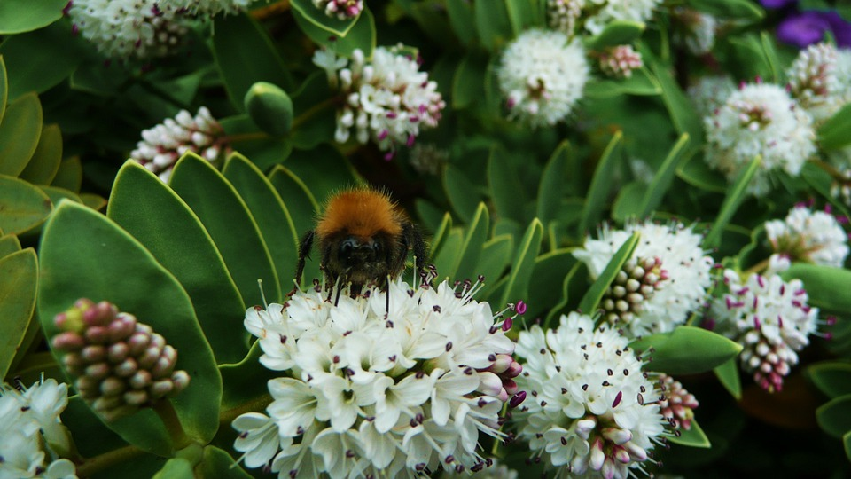 Bumblebee, Honeybee, Bee, Insect, Honey, Animal, Bug