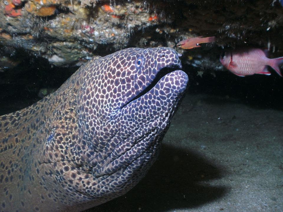 Moray Eel, Honeycomb Moray, Honeycomb Eels