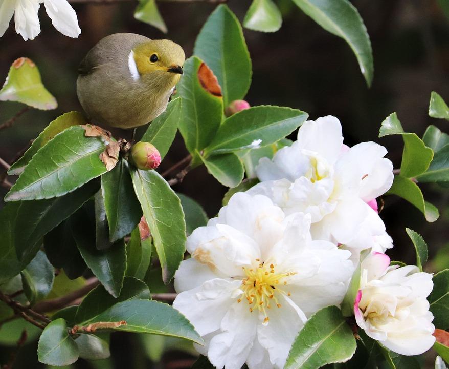 Bird, Honeyeater, Wildlife, Flowers, Camellia, Garden