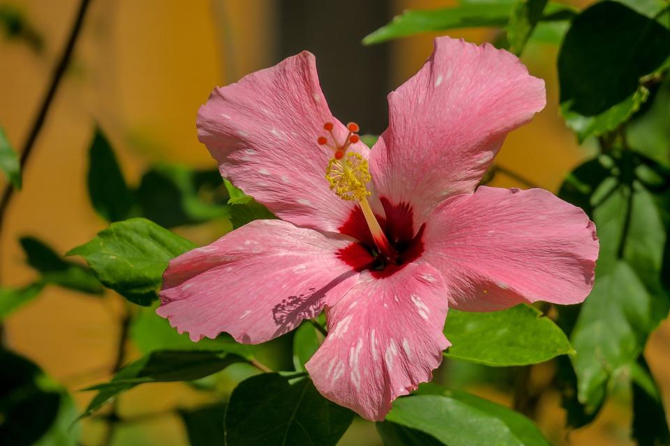 Hong Kong, Hibiscus, Plant, Petal, Color, Green, Bud