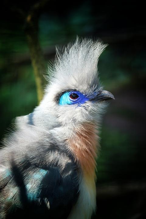 Dome're Cuckoo, Cuckoo, Madagascar, Bird, Hood, Feather