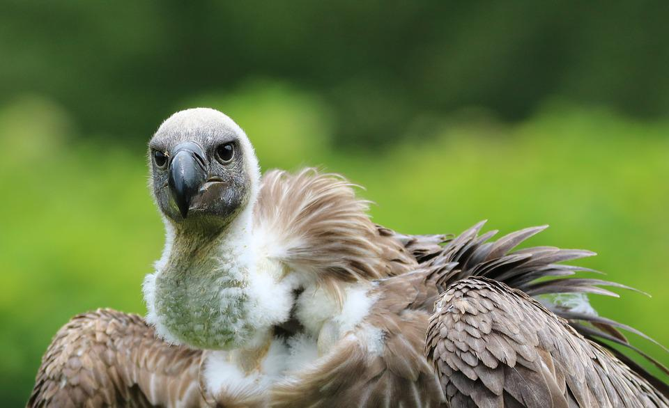 Hooded Vulture, Vulture, Hooded, Wildlife, Nature, Wild