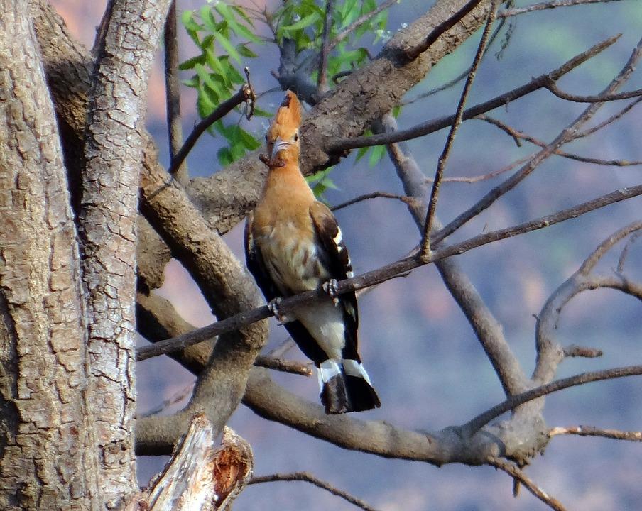 Hoopoe, Bird, Eurasian, Migratory, Upupa Epops, Perched
