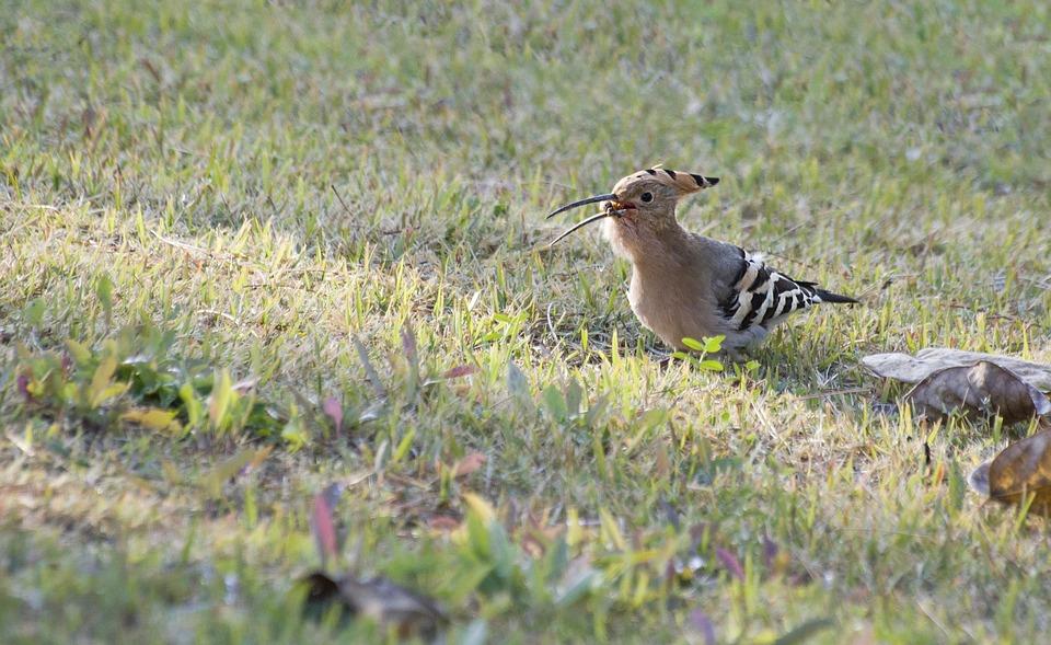 Hoopoe, Bird, Animal, Eurasian Hoopoe, Wildlife, Fauna