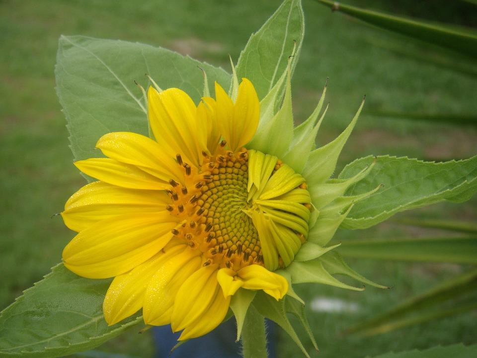 Flowers, Growth, Sunflowers, Petals, Hope, Bud, Sun