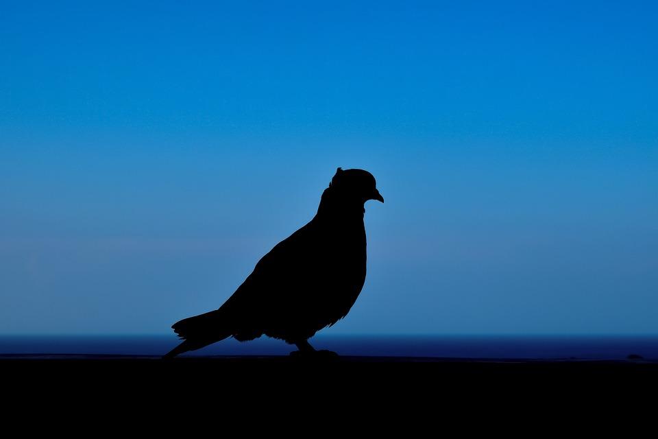 Pigeon, Shadow, Silhouette, Sea, Horizon, Evening, Bird