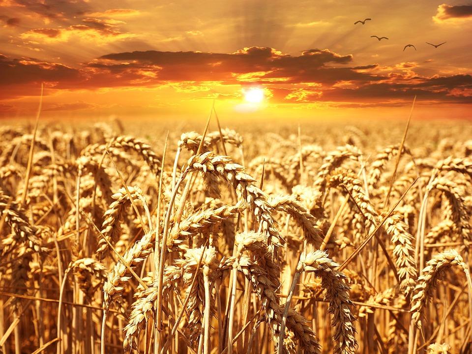 Wheat, Field, Sunset, Horizon, Clouds, Orange Sky, Sun