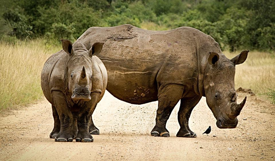 Rhinoceros, Close, Couple, Horn, Endangered, Big 5