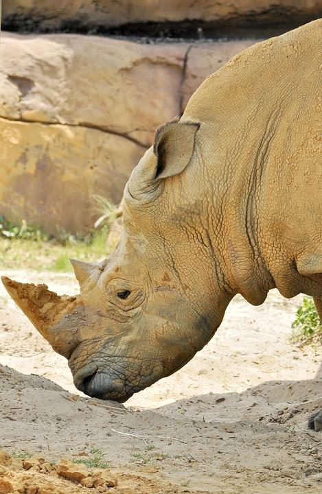 Rhino, Horn, Animal, Rhinoceros, Endangered