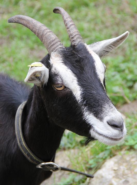 Goat, Radiate Goat, Horn, Horns, Ears Brand