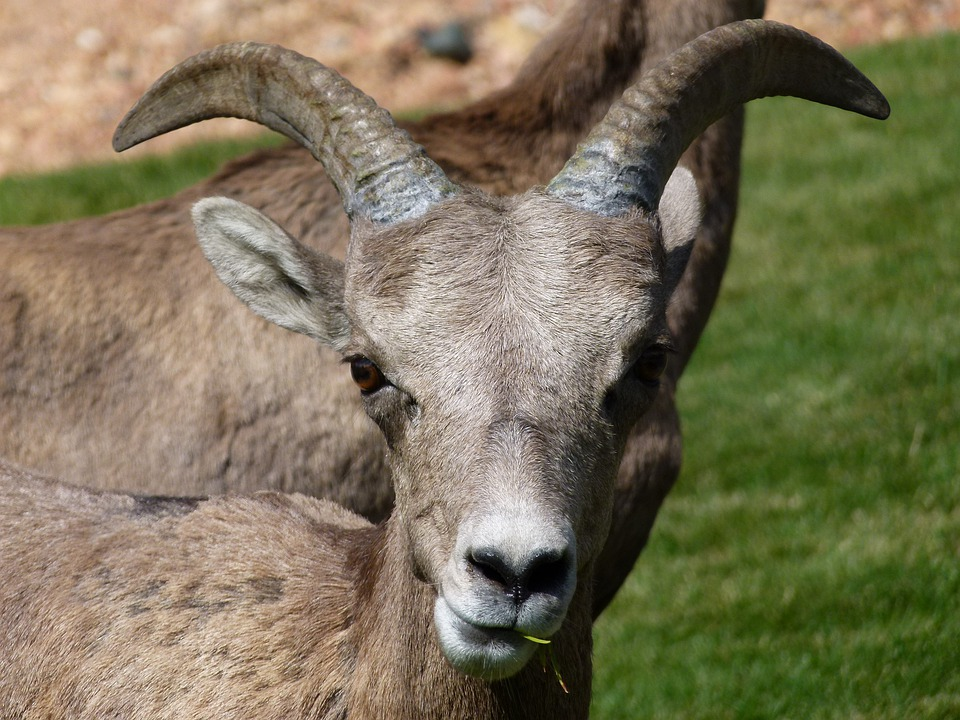 Mountain Sheep, Head, Horn, Garden, Animal, Mammal