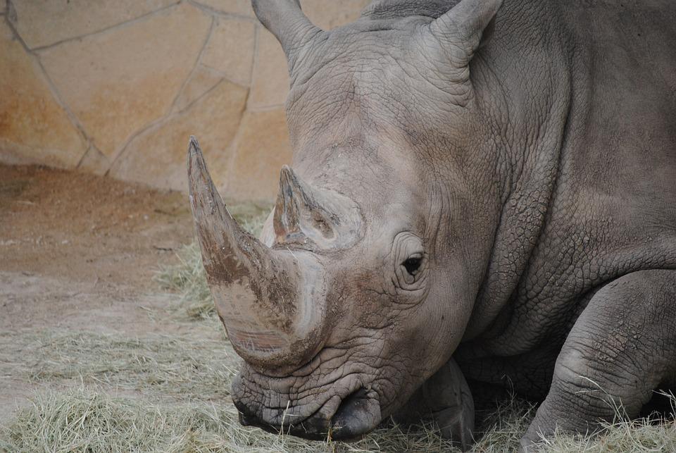 Rhino, Gray, Animal, Mammal, Rhinoceros, Horn, Wildlife