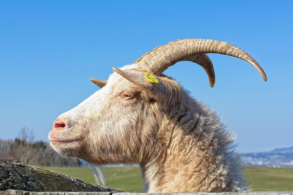 Goat, Bock, Billy Goat, Horns, Horned, Goat Buck