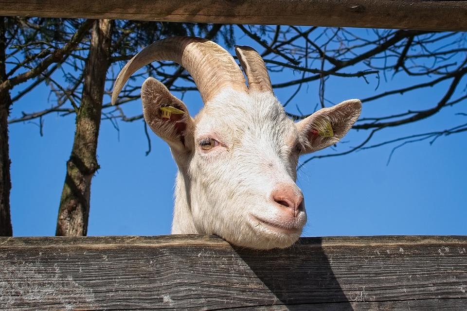 Domestic Goat, Goat, Head, Livestock, Horns, Horned