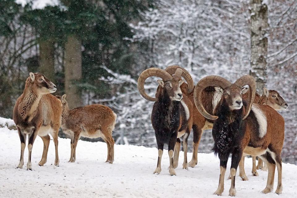Mouflon, Horned, Ruminant, Mammal, Wildlife Photography