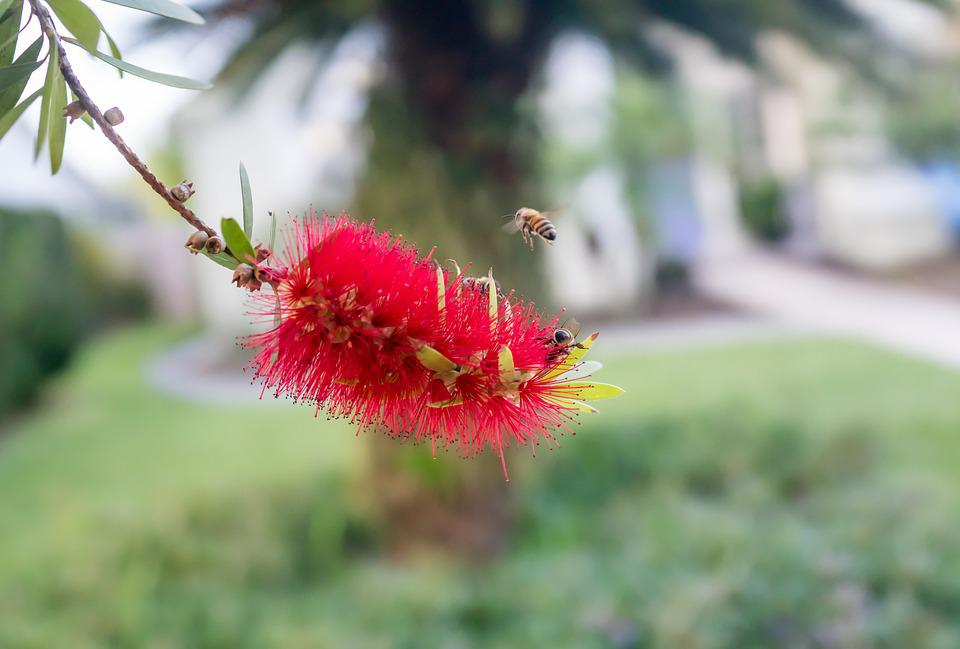 Callistemon, Bottle Brush Flowers, Hornet, Flying