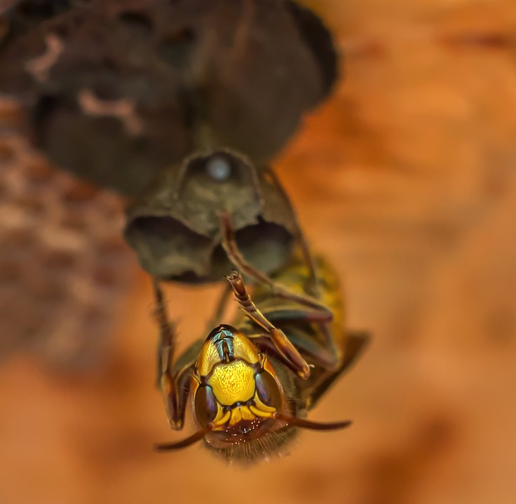 Hornets, Hornet, Insect, Animals, Queen