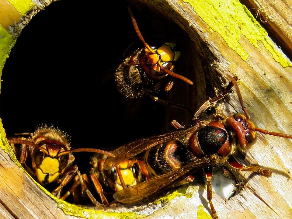 Animals, Hornets, Insect, Nest, Hornissennest