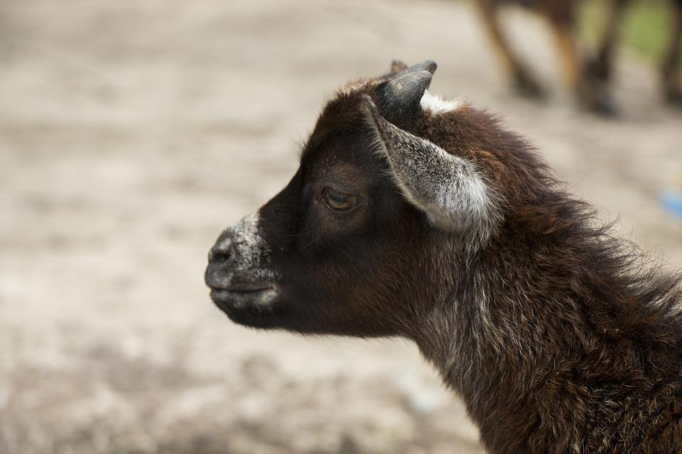 Goat, Animal, A Small Goat, Horns, The Head Of The