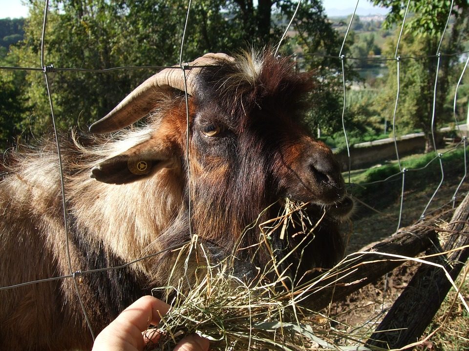 Capra, Goat, Natural Park, Animal, Italy, Horns