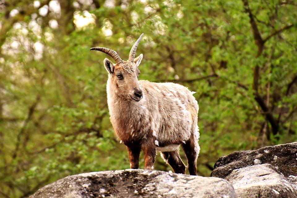 Capricorn, Animal, Horns, Wild Animal, Zoo, Nature