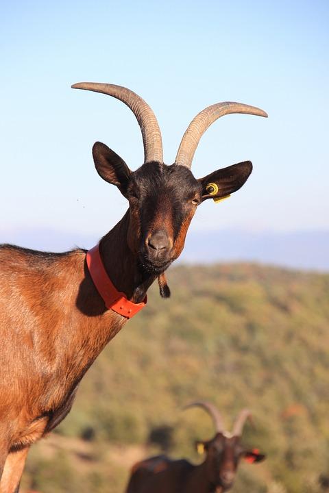 Goat, Farm, Horns, Agriculture, Ruminants, Animals