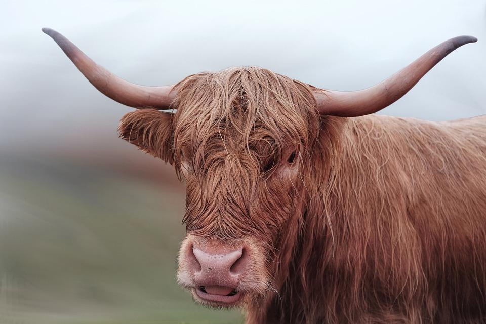Beef, Cow, Long Horn, Brown, Horns, Highland Beef