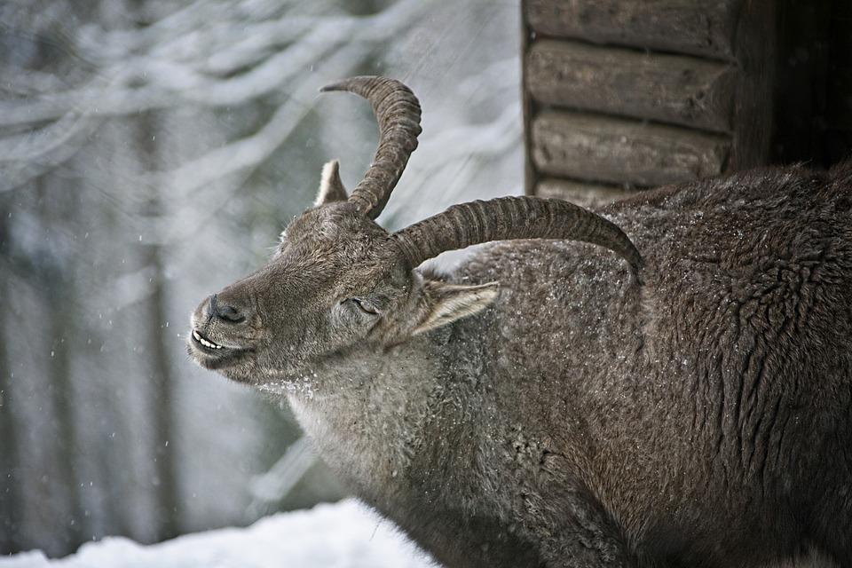 Capricorn, Fur, Winter Time, Horns