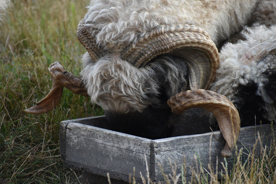 Goat, Horns, Food, Feeder, Fur, Wool, Animal, Fauna