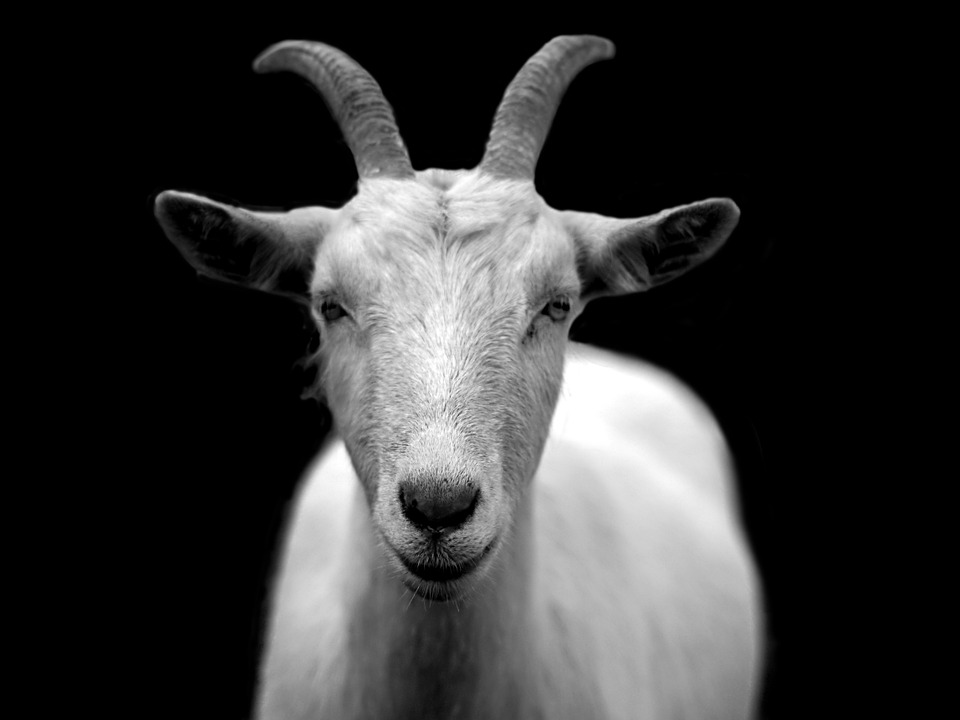 Goat, Animal, Horns, Black And White