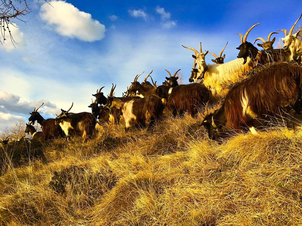 Goats, Capra, Mountain, Animal, Nature, Horns, Italy